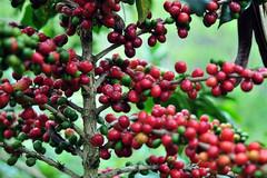 semerbak-kopi-nusantara-mendunia